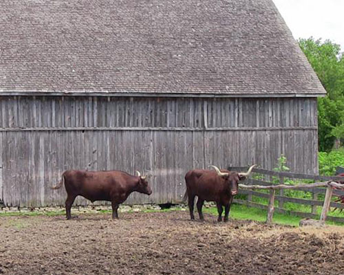 Oxen at Garfield Farm